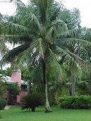 Кокос орехоносный (Cocos nucifera) / Комнатные растения и цветы / Плодоносящие растения