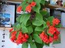 Колерия (Kohleria) / Комнатные растения и цветы / Кустовые