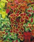 Колеус Блюме (Coleus blumei) / Комнатные растения и цветы / Кустовые