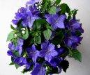 Колокольчик равнолистный (Campanula isophylla) / Комнатные растения и цветы / Неприхотливые растения