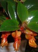 Колумнея (Columnea) / Комнатные растения и цветы / Многолетние