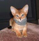Абиссинская кошка (Abyssinian cat) / Породы кошек / Породы кошек: Подвижные и активные кошки: Уход, советы, бесплатные объявления, форум, болезни