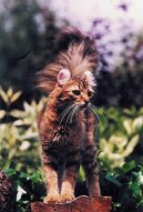 Американский керл (American Curl) / Породы кошек / Породы кошек: Подвижные и активные кошки: Уход, советы, бесплатные объявления, форум, болезни