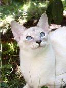 Балийская (балинез) кошка (Balinese Cat)