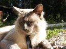 Балийская (балинез) кошка (Balinese Cat) / Породы кошек / Породы кошек: Подвижные и активные кошки: Уход, советы, бесплатные объявления, форум, болезни