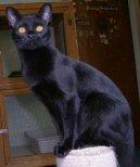 Бомбейская кошка (Bombay cat) / Породы кошек / Породы кошек: Приветливые и ласковые кошки: Уход, советы, бесплатные объявления, форум, болезни