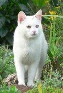 Британская короткошерстная кошка (British Shorthair Cat)