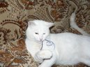 Британская короткошерстная кошка (British Shorthair Cat) / Породы кошек / Породы кошек: Приветливые и ласковые кошки: Уход, советы, бесплатные объявления, форум, болезни