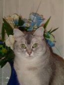 Бурмилла (Burmila Cat)