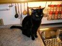 Домашние кошки (Domestic cat) / Породы кошек / Породы кошек: Другие породы кошки: Уход, советы, бесплатные объявления, форум, болезни