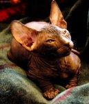 Донской сфинкс (Don Sphynx Cat) / Породы кошек / Породы кошек: Другие породы кошки: Уход, советы, бесплатные объявления, форум, болезни
