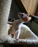 Корниш-Рекс (Cornish Rex) / Породы кошек / Породы кошек: Подвижные и активные кошки: Уход, советы, бесплатные объявления, форум, болезни