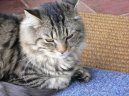 Фотографии к статье: Мейн кун (Maine Coon) / Советы по уходу и воспитанию породы кошек, описание кошки, помощь при болезнях, фотографии, дискусии и форум.