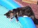 Мейн кун (Maine Coon) / Породы кошек / Породы кошек: Полудлинношерстные кошки: Уход, советы, бесплатные объявления, форум, болезни