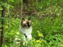 Невская маскарадная кошка (Neva Masqyerade Cat) / Породы кошек / Уход, советы, бесплатные объявления, форум, болезни