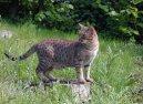 Оцикет (Ocicat Cat)