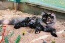Оцикет (Ocicat Cat) / Породы кошек / Породы кошек: Спокойные кошки: Уход, советы, бесплатные объявления, форум, болезни