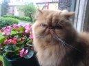 Персидская кошка (Persian Cat)