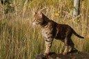 Саванна (Savannah Cat) / Породы кошек / Уход, советы, бесплатные объявления, форум, болезни