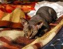 Сфинкс (Sfynx Cat)