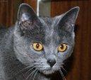 Фотографии к статье: Шартрез (картезианская кошка) (Chartreux Cat) / Советы по уходу и воспитанию породы кошек, описание кошки, помощь при болезнях, фотографии, дискусии и форум.