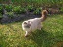 Шотландская (скоттиш-фолд) (Scotish Fold Cat) / Породы кошек / Уход, советы, бесплатные объявления, форум, болезни