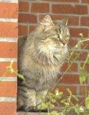 Фотографии к статье: Сибирская кошка (Siberian Cat) / Советы по уходу и воспитанию породы кошек, описание кошки, помощь при болезнях, фотографии, дискусии и форум.