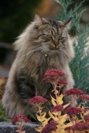 Сибирская кошка (Siberian Cat) / Породы кошек / Уход, советы, бесплатные объявления, форум, болезни
