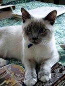Сноу-шу (Snowshoe) / Породы кошек / Уход, советы, бесплатные объявления, форум, болезни