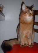 Сомалийская кошка (Somali Cat)