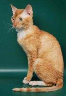 Уральский рекс (Urals Rex Cat) / Породы кошек / Уход, советы, бесплатные объявления, форум, болезни