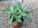 Котиледон (Cotyledon) / Комнатные растения и цветы / Кактусы, суккуленты