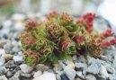 Крассула (толстянка) (Crassula) / Комнатные растения и цветы / Кактусы, суккуленты