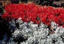 Крестовник кровавый (Senecio cruentus) / Комнатные растения и цветы / Многолетние