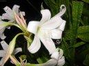 Кринум (Crinum) / Комнатные растения и цветы / Многолетние