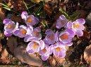 Крокус (Crocus) / Комнатные растения и цветы / Многолетние