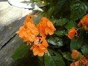 Кроссандра (Crossandra) / Комнатные растения и цветы / Многолетние