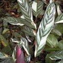Ктенанта (Ctenanthe) / Комнатные растения и цветы / Многолетние