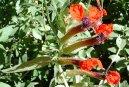 Куфея (Cuphea) / Комнатные растения и цветы / Кустовые