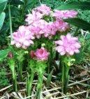 Куркума (Curcuma) / Комнатные растения и цветы / Многолетние