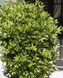 Лавр (Laurus) / Комнатные растения и цветы / Деревца