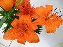 Лилия (Lilium) / Комнатные растения и цветы
