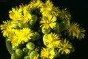 Литопс (живые камни) (Lithops) / Комнатные растения и цветы / Кактусы, суккуленты