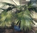 Ливистона пальма (Livistona)