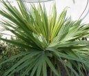 Ливистона пальма (Livistona) / Комнатные растения и цветы / Пальмы