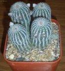 Лобивия (Lobivia) / Комнатные растения и цветы / Кактусы, суккуленты