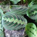Маранта (Maranta) / Комнатные растения и цветы / Многолетние