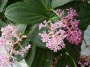 Мединилла великолепная (Medinilla magnifica) / Комнатные растения и цветы / Кустовые