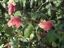 Микания тройчатая (Micania ternata)