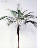 Фотографии к статье: Микроцелюм Ведделя (Microcoelum weddelianum)